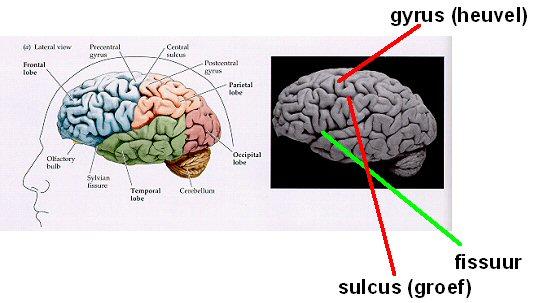 hemisferen hersenen