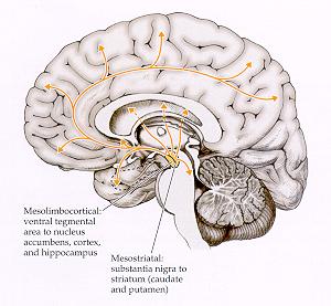 neurotransmitters hersenen