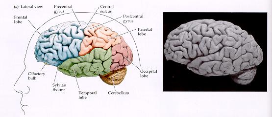 het vitale brein